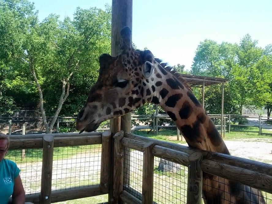 knoxville zoo giraffe