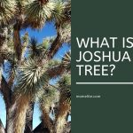 what is joshua tree